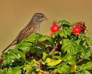 bird in hedge
